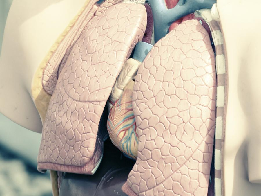 A model of lungs and heart